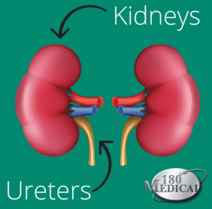 kidneys and ureters